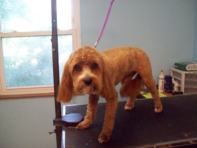 Dog Haircuts By Breed | Dog Breeds Picture